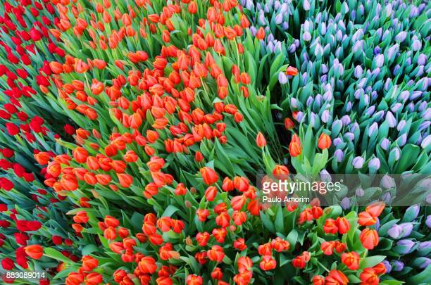 Mult Colored Tulips in Amsterdam
