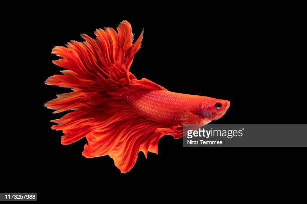 multi colored of siamese fighting fish ( betta splendens ). - freshwater stock pictures, royalty-free photos & images