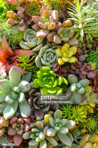 multi colored plants. - succulent stock pictures, royalty-free photos & images