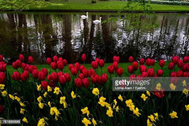 Multi Colored Tulips Blooming In Lake