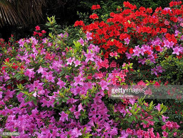 multicolor azaleas flowering on lake maggiore, north italy - azalea stock pictures, royalty-free photos & images