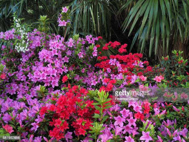 multicolor azaleas - azalea stock pictures, royalty-free photos & images