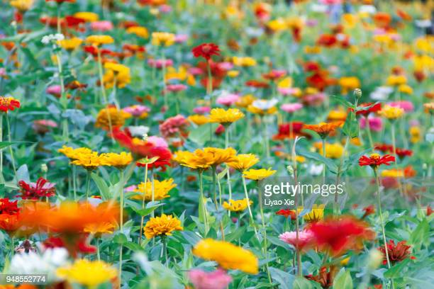multicolor calliopsis - liyao xie stock pictures, royalty-free photos & images