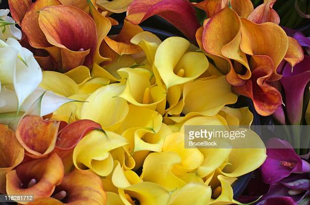 multicolored calla lillies - calla lily stock pictures, royalty-free photos & images
