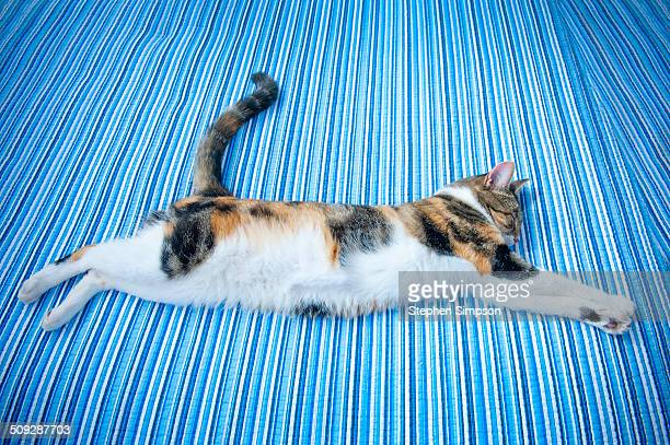 multi-colored cat asleep on blue striped bed