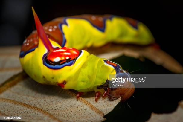 Multicolored caterpillar feeding on a leaf in the savannah hills of Meta, Colombia.