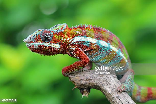 Multi-colored Chameleon sitting on branch, Indonesia