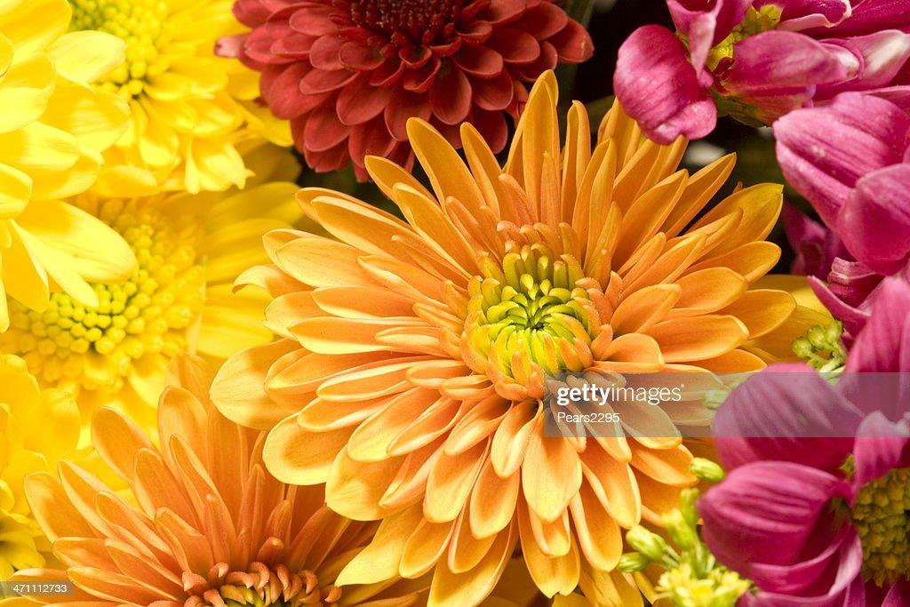 Chrysanthemen-Serie XL : Stock-Foto