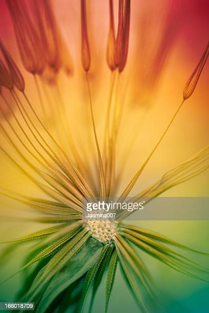 Multicolored dandelion abstract