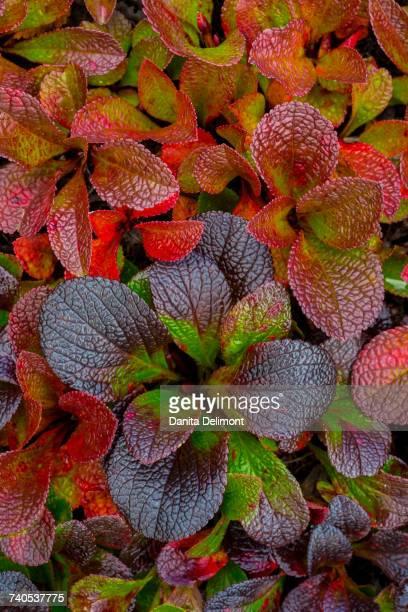 Multicolored leaves of Alpine bearberry (Arctostaphylos alpine), Alaska, USA
