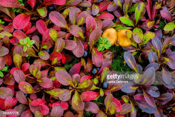 Multicolored leaves of Alpine bearberry (Arctostaphylos alpine) and crowberry, Alaska, USA