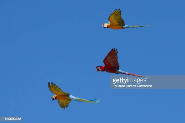 multicolored macaws flying among trees with blue sky. ara ararauna species - macaw stock pictures, royalty-free photos & images