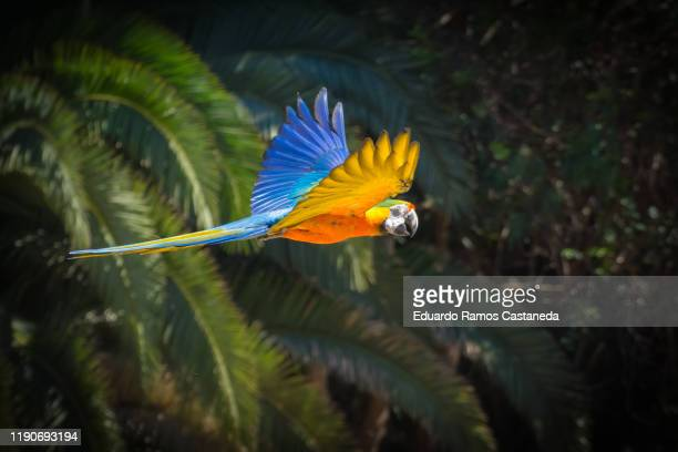 multicolored macaws flying among trees with blue sky. ara ararauna species - パラキート ストックフォトと画像