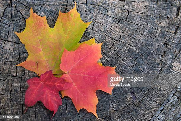 Multi-colored Maple leaves in Autumn