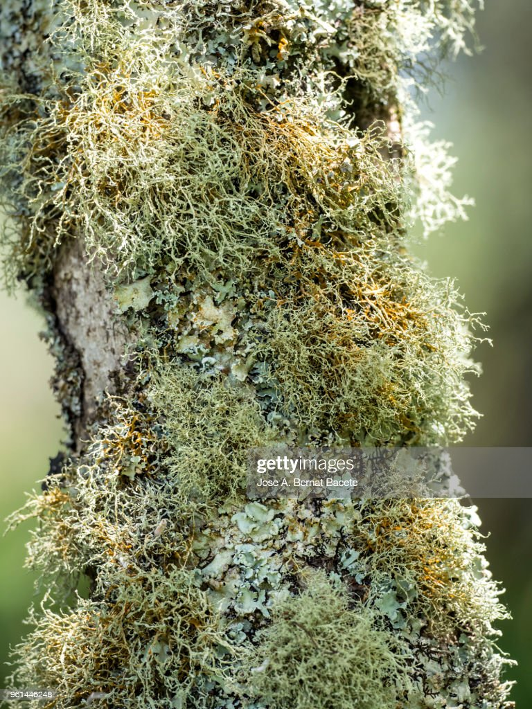 Multicolored mosses and lichens in the  trunk of tree in a humid forest, Terceira Island in the Azores, Portugal. : Foto de stock