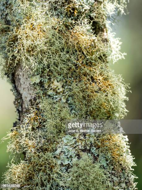 multicolored mosses and lichens in the  trunk of tree in a humid forest, terceira island in the azores, portugal. - musgo español fotografías e imágenes de stock