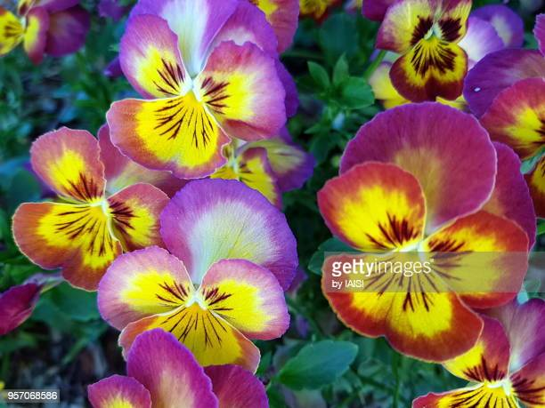 multi-colored pansies in blossom - pansy stock pictures, royalty-free photos & images