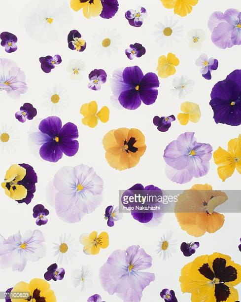 Multi-colored Pansy flowers, close-up