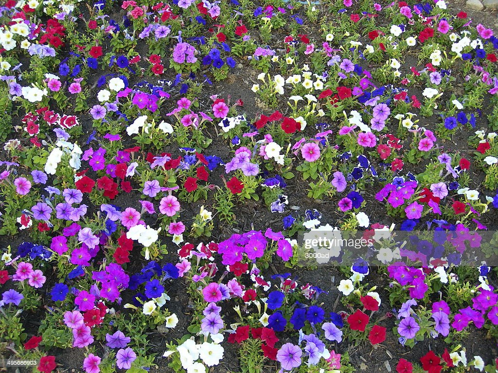 Multicolored Petunia Flower Bed Background High Res Stock Photo Getty Images