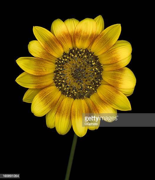 mehrfarbiger sonnenblume isoliert auf schwarzem hintergrund - ogphoto stock-fotos und bilder