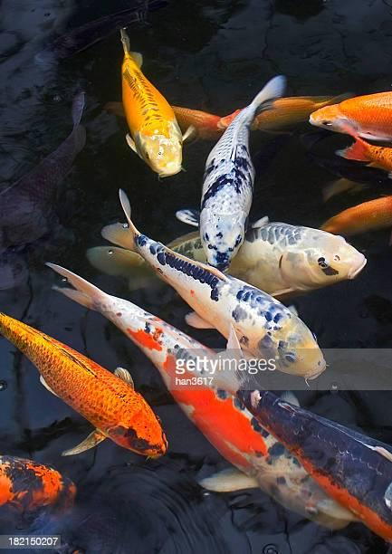 lago multicoloridos peixe - koi carp - fotografias e filmes do acervo