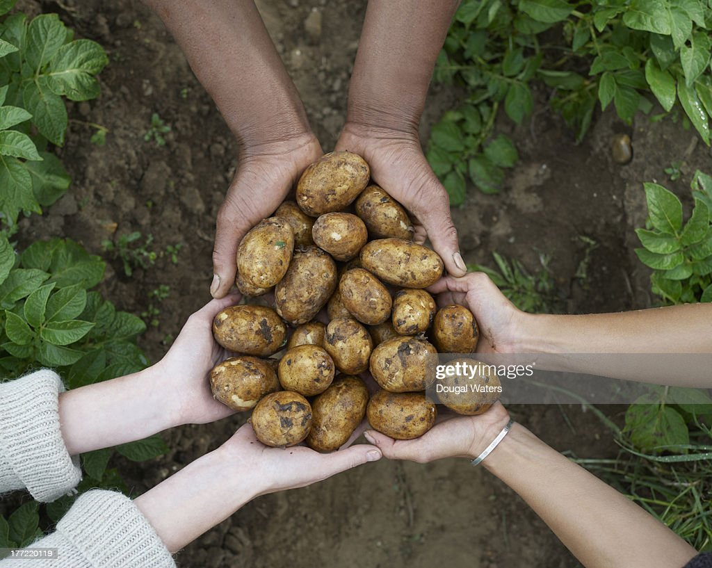 Multicultural hands holding fresh potatoes. : Stock Photo