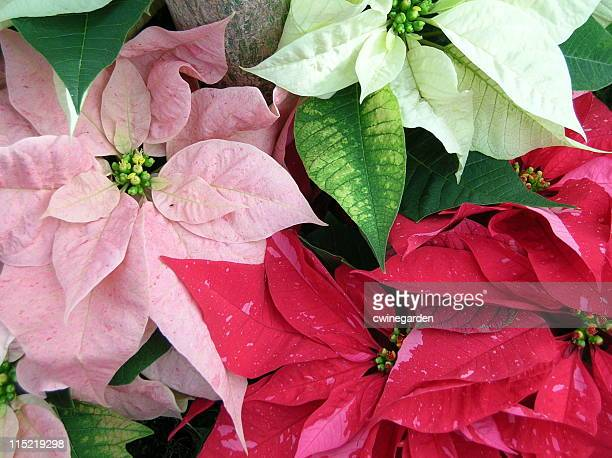 multiple array of poinsettia colors - christmas star stock photos and pictures