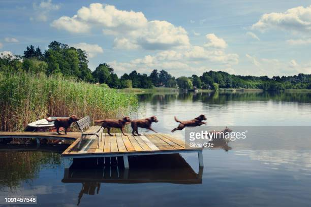 Multiple Exposures of chocolate Labrador jumping off jetty into lake with blue skies