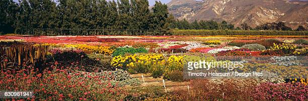 multiple flower varieties are planted in a patchwork and seen in late summer in ventura county, trees and mountains in the background - timothy hearsum stock pictures, royalty-free photos & images