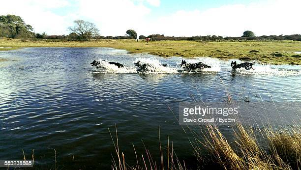 Multiple Image Of Dog Running In Lake