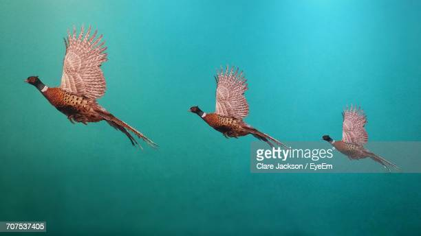 Multiple Image Of Pheasants Flying Against Turquoise Background