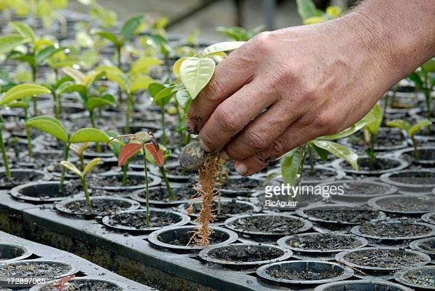 multiple plants being grown for reforestation - carbon dioxide bildbanksfoton och bilder