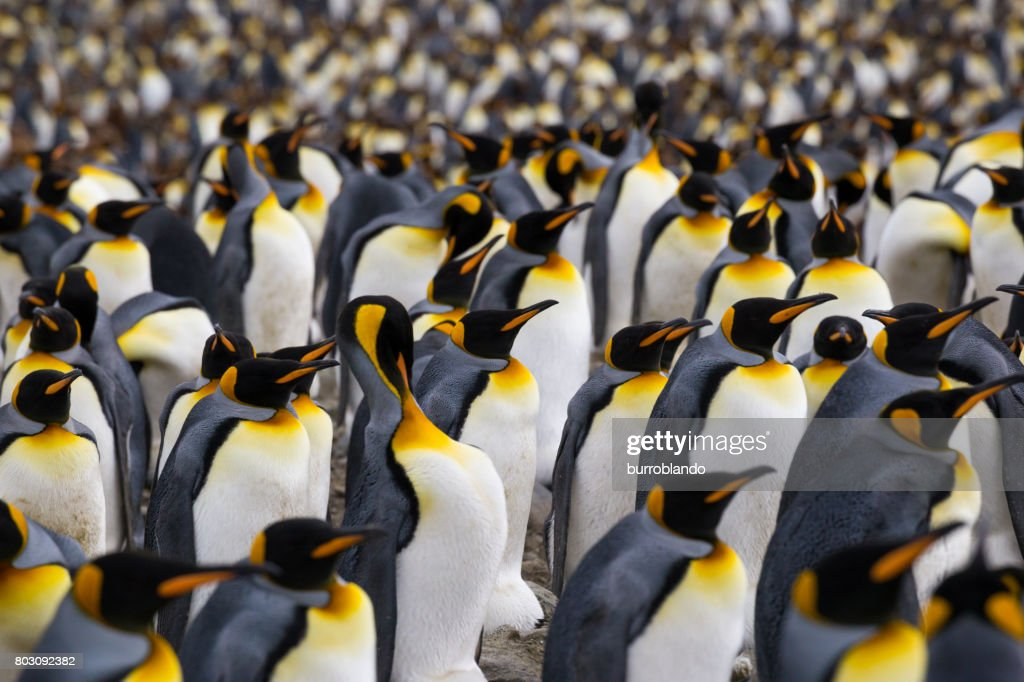 A multitude of King penguin stands in a colony on South Georgia Island : Stock Photo