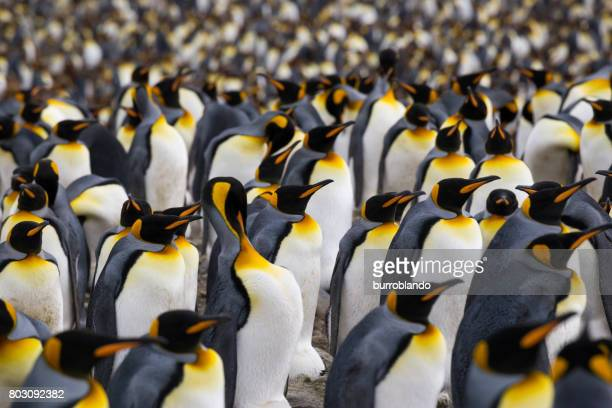 a multitude of king penguin stands in a colony on south georgia island - royal penguin stock pictures, royalty-free photos & images