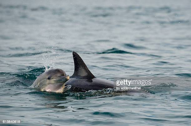 Mum And Calf Dolphins