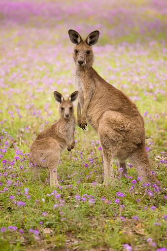 mum and joey 183410590