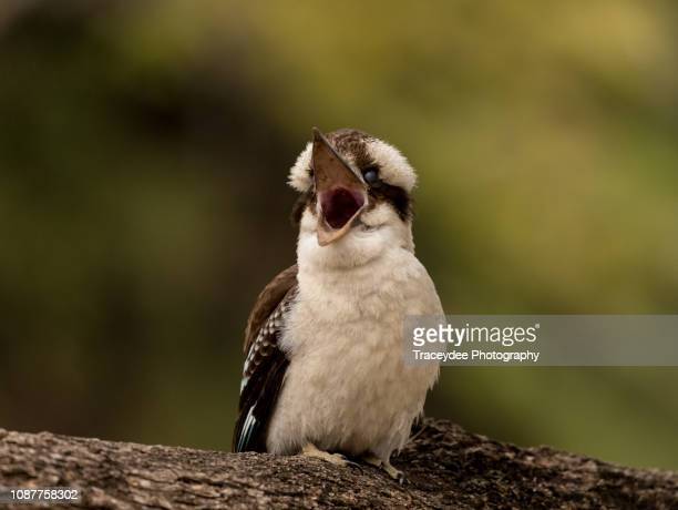 mum... i am hungry! a juvenile kookaburra is calling for it's mother and is most likely hungry. - snavel stockfoto's en -beelden