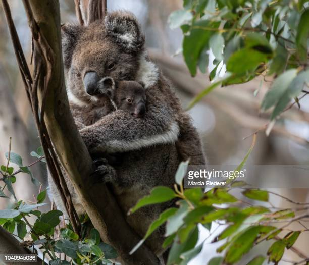 Mum Koala and Joey