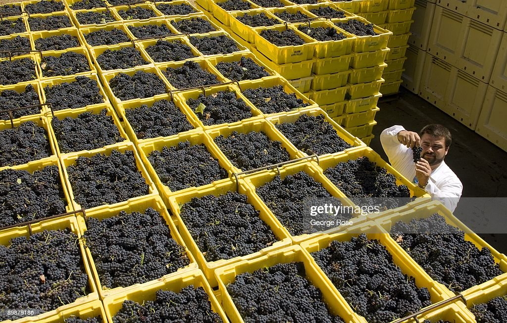 California Grape Harvest Begins : News Photo
