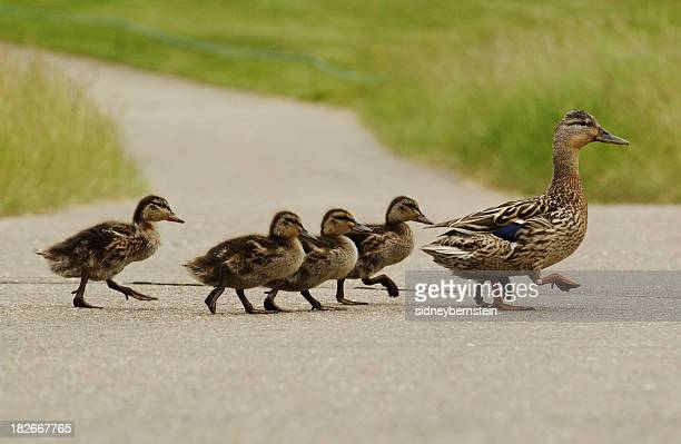 mumma duck and kids - animal family stock pictures, royalty-free photos & images