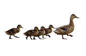 Mumma duck and kids