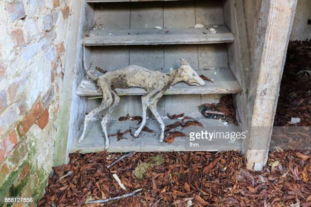 mummified body of a dead dog on the stairs of an abandoned building - dead dog stock pictures, royalty-free photos & images