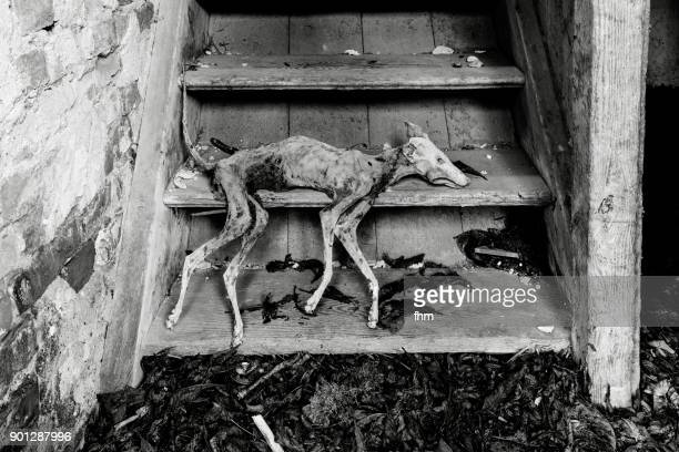 Mummified body of a dead dog on the stairs of an abandoned building