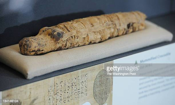 A mummified crocodile from 33230 BC is part of the exhibit 'Eternal Life in Ancient Egypt' that opens November 17 2011 at the Smithsonian National...
