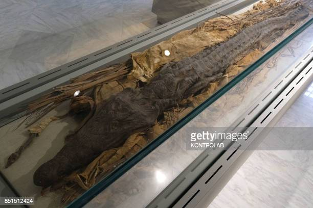 A mummified crocodile in the Egyptian Section of the National Archaeological Museum of Naples MANN reopened after restoration