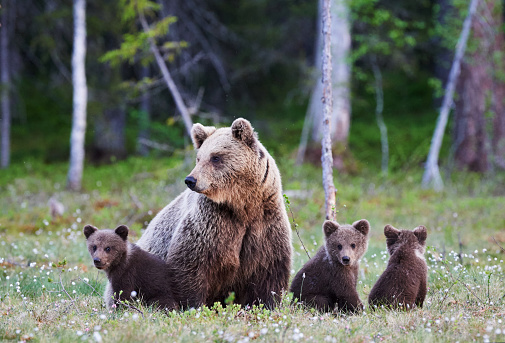 Mummy bear and her three little puppies 866119234