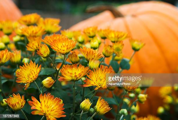 Mums and pumpkins - I