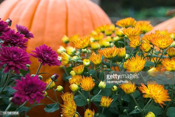 mums y pumpkins-ii - chrysanthemum fotografías e imágenes de stock