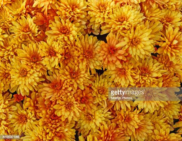 mums in the fall - chrysanthemum imagens e fotografias de stock