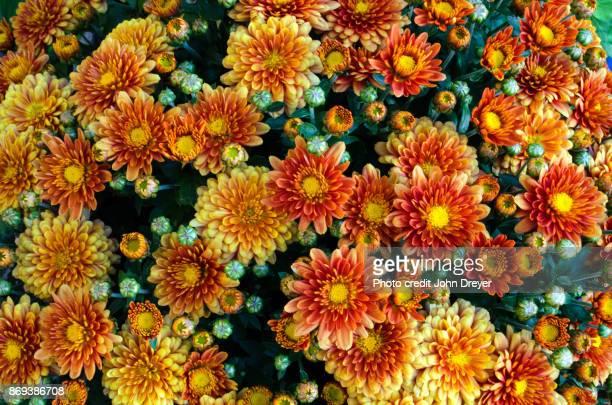 mums mums mums - chrysanthemum fotografías e imágenes de stock